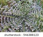 Bush Field Plant With Spiky...