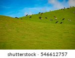 Herd Of Cows In A Pasture On...