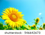 Sunflowers  Japan. Field Of...