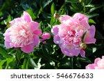 Romantic Pink Peonies In Sprin...