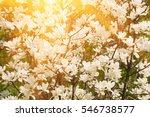 blossoming of magnolia flowers... | Shutterstock . vector #546738577