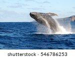 humpback whale breaches   Shutterstock . vector #546786253