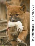 cute dingo puppy with a prey ... | Shutterstock . vector #546787777