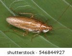 cockroaches from the equatorial ... | Shutterstock . vector #546844927