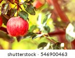 Apple. Red Fruit On The Branch...