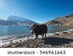 black yak walking alongside... | Shutterstock . vector #546961663