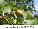 Closeup Of Pecan Nut On The Tree