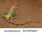 Green Iguana  Iguana Iguana ...