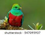 resplendent quetzal ... | Shutterstock . vector #547095937