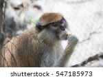 patas monkey  also called a... | Shutterstock . vector #547185973