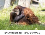 image of a big male orangutan... | Shutterstock . vector #547199917