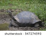Galapagos Giant Tortoise At Th...
