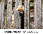 Curious Brown Goose Peeping...