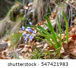 Small photo of Scilla bifolia (alpine squill or two-leaf squill)