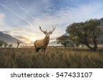 beautiful red deer stag in... | Shutterstock . vector #547433107