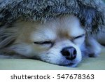 adorable long haired chihuahua... | Shutterstock . vector #547678363