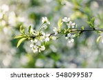 Blossoming Of Cherry Flowers I...