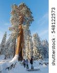 giant sequoia trees in kings... | Shutterstock . vector #548122573