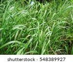 Long Green Grass  Top View ...