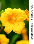 A Yellow Day Lily Shot With A...