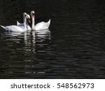 Swan's Family In The Lake In...
