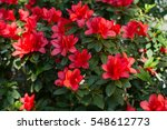 Big red azalea bush in the...