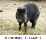 collared peccary         | Shutterstock . vector #548622943