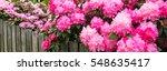 Pink Hydrangeas And Azaleas...