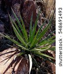 Small photo of Agave Lechuguilla Shin Digger Succulent Growing out of Rock in Chihuahua Desert Texas