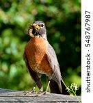 Small photo of An American robin proudly displays his caterpillar lunch.