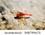 Closeup Of A Red Dragonfly On ...