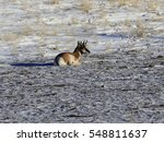 Young Antelope Buck