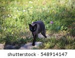 siamese black cat with blue... | Shutterstock . vector #548914147