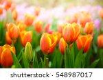 colorful tulip garden in spring ... | Shutterstock . vector #548987017