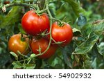 Red Organic Tomato Plant And...