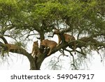 Group Of Lionesses Resting On ...