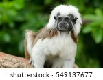 A Cotton Top Tamarin Monkey