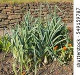Small photo of Home Grown Organic Leeks (Allium ampeloprasum) on an Allotment in a Vegetable Garden in Rural Devon, England, UK