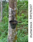 Small photo of Rubber trees or Hevea brasiliensis is plants that produce latex. Milky latex extracted from rubber tree or Hevea Brasiliensis as a source of natural rubber.