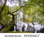 A Weeping Willow Near A Pond