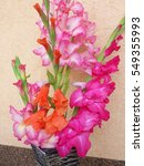 Colorful Gladiolus Flowers In ...