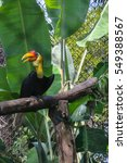 Small photo of Knobbed Hornbill (Aceros cassidix) colorful tropic bird with big horn beak