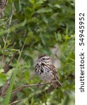 Song Sparrow  Melospiza Melodi...