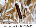 Cattail Marsh In The Winter