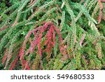background texture of shrubbery ... | Shutterstock . vector #549680533