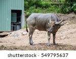 the buffalo is looking back to... | Shutterstock . vector #549795637