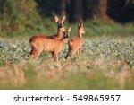 capreolus capreolus  two roe... | Shutterstock . vector #549865957
