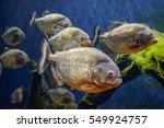 Piranha fish underwater closeup ...
