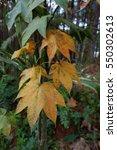 Maple Leaf Form Tree In Dalat...