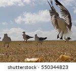 seagulls fighting over hot... | Shutterstock . vector #550344823